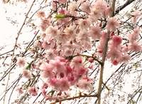2013桜.jpg